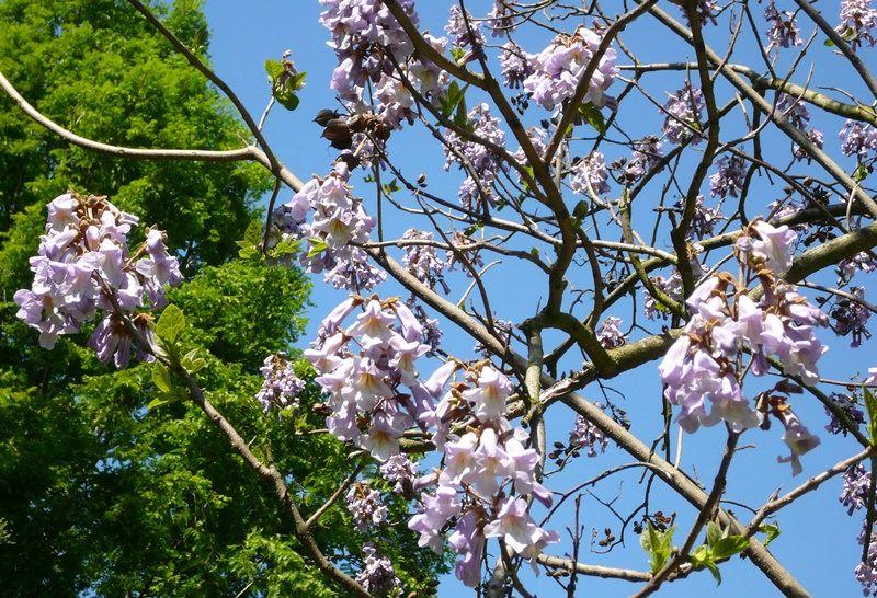 Быстрорастущее дерево Павловния; Вода; источник красоты и молодости